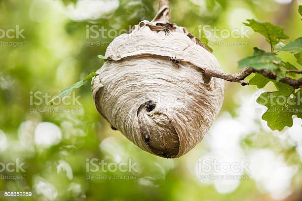 Free hornet nest Images, Pictures, and Royalty-Free Stock ...