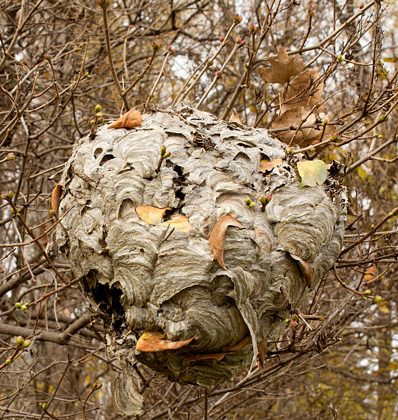 Paper Wasp nest stock photo