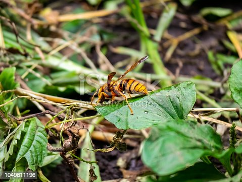 istock A paper wasp rests on a leaf in central Kanagawa Prefecture, Japan. 1049811196