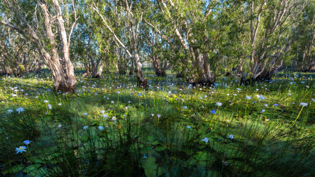 paperback swamp inundated with blue water lilies, nt, australia - janet k scott stock pictures, royalty-free photos & images