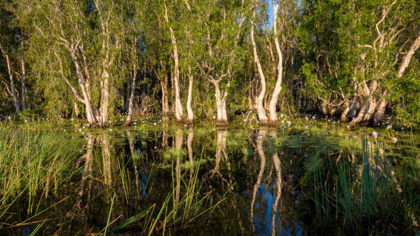 paperback swamp inundated with water lilies, nt, australia - janet k scott stock pictures, royalty-free photos & images
