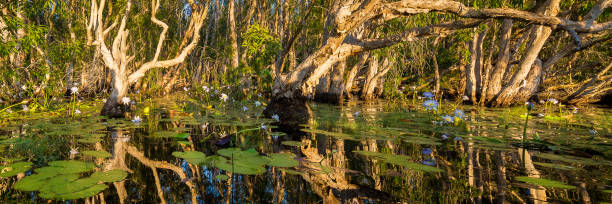 paperbark swamp with water lilies at sunset, nt, australia - janet k scott stock pictures, royalty-free photos & images