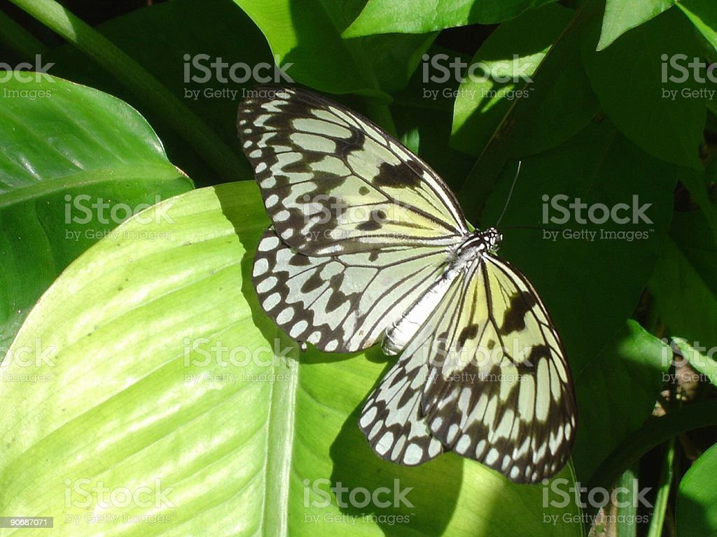 Paperwhite Butterfly stock photo