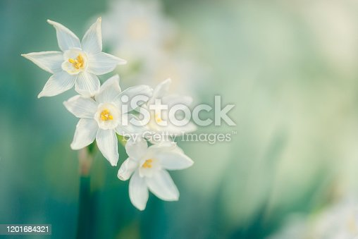 Paperwhite Narcissus in bloom. Flower image with copy space