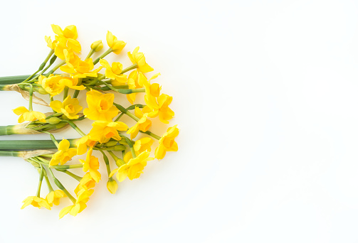 Paperwhite Narcissus Soleil Dor on White Background