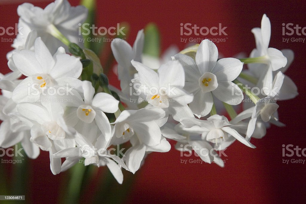 Paperwhites - Narcissus on Red horizontal - Royalty-free Backgrounds Stock Photo