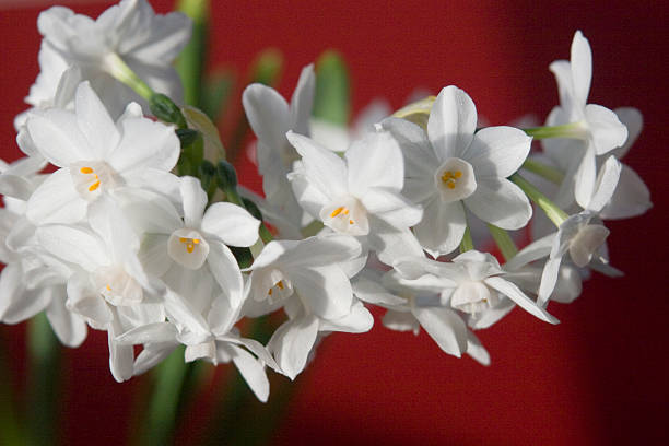Paperwhites - Narcissus on Red horizontal stock photo