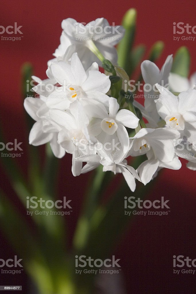 Paperwhites - Narcissus on Red stock photo