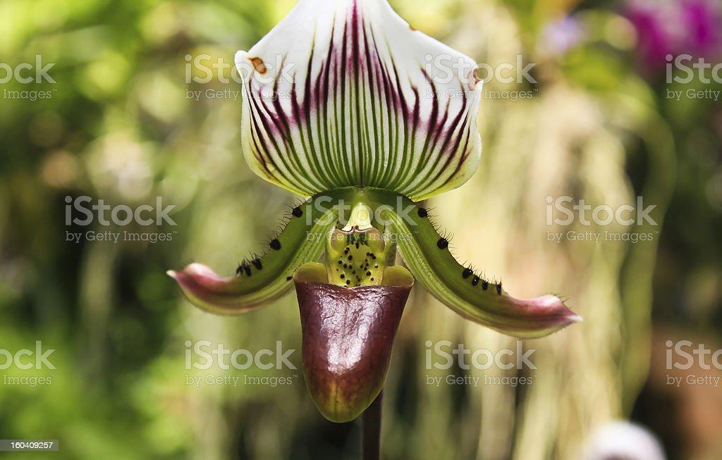 Paphiopedilum appletonianum Gower Rolfe royalty-free stock photo