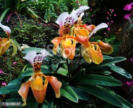 Paphiopedilum Cypripedioideae orchid in Thailand
