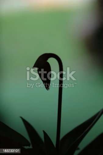 This is a paphiopedilum macabre spike in silhouette.  When the bloom opens it will have lots of warts and hairs and the dark colors of macabre.