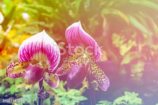Paphiopedilum maudiae hybrid orchid
