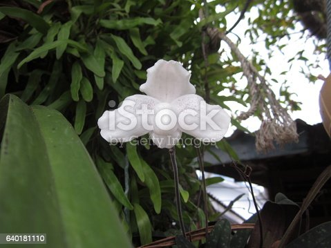 istock Paphiopedilum niveum orchid flower. 640181110