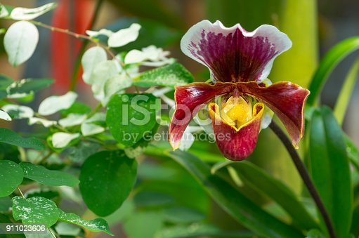 Paphiopedilum orchid growing in the botanical garden