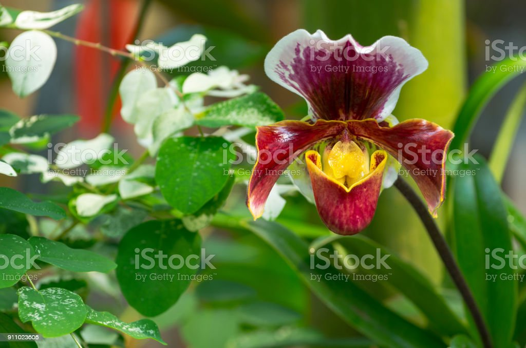 Paphiopedilum orchid growing in the botanical garden stock photo