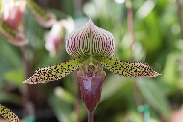paphiopedilum orchid - seltene pflanzen stock-fotos und bilder