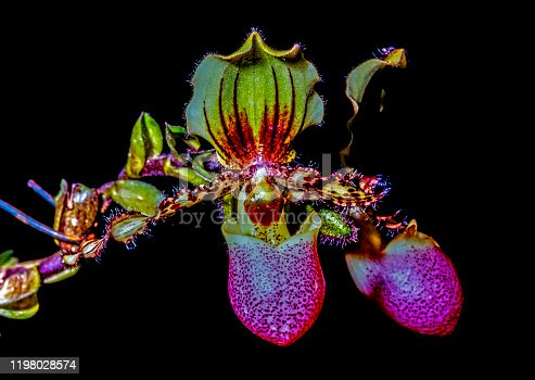 Paphiopedilum, often called the Venus slipper, is a genus of the lady slipper orchid subfamily Cypripedioideae of the flowering plant family Orchidaceae.