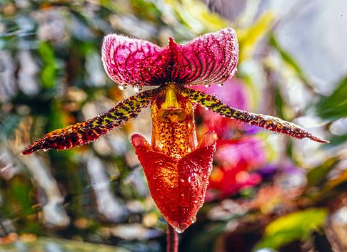 Paphiopedilum, Venus slipper,
