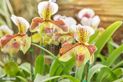 Paphiopedilum villosum (Lindl.) Stein or Lady's slipper or Slipper orchid wild orchid in natural