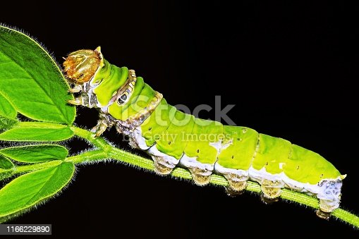 Papilio Demoleus caterpillar (Lemon butterfly)