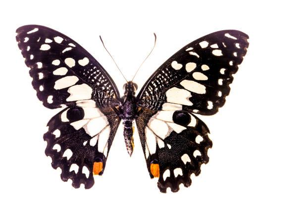 Papilio demoleus picture id1154525893?b=1&k=6&m=1154525893&s=612x612&w=0&h=fy9gqk8pc32ajmuwiflqcldkkfuuici na4nqwyp81y=