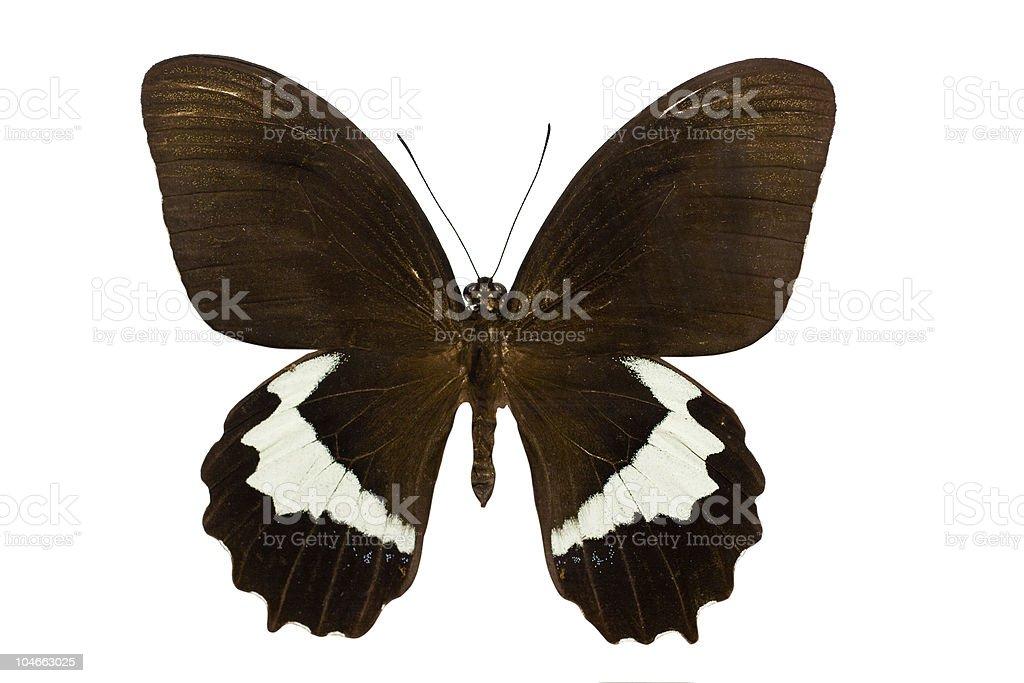 Papilio gambrisius royalty-free stock photo