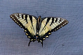 Papilio glaucus, the eastern tiger swallowtail showing off yellow colours in Ontario, Canada.
