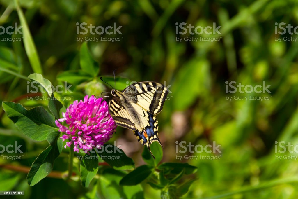 Papilio Machaon and Pink Flower stock photo