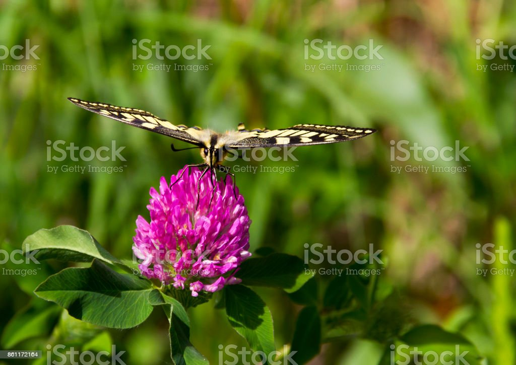 Papilio Machaon - Butterfly on a Pink Flower stock photo