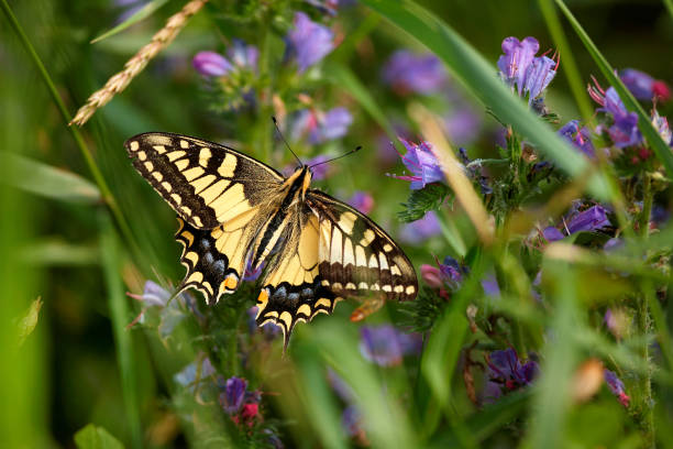Papilio machaon, European Swallowtail (Common Yellow Swallowtail). Butterfly on flower. Czech Republic stock photo