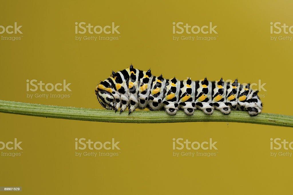 Yellow machaon-Larve Lizenzfreies stock-foto