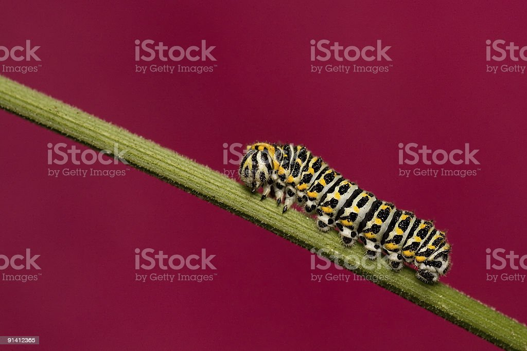 Papilio machaon larva royalty-free stock photo