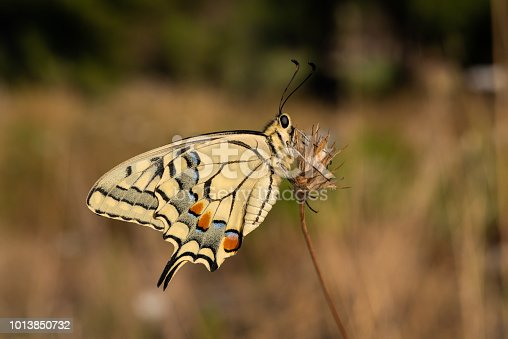 the swallowtail butterfly is the definition of beauty