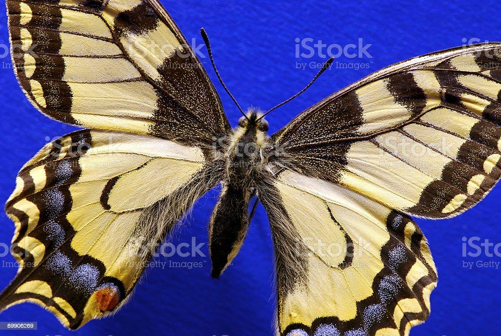 Papilio Machaon royalty-free stock photo