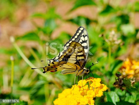 Old World Swallowtail Papilio machaon butterfly on a flower