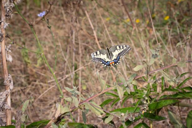 Papilio Machaon Rest – Foto