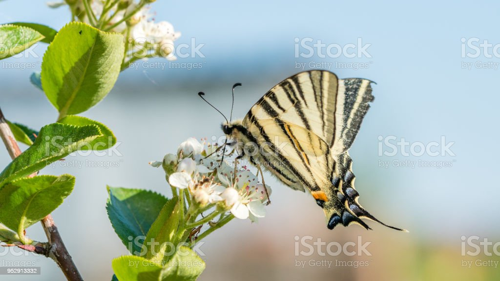 Papilio machaon, the Old World or common yellow swallowtail, is a butterfly of the family Papilionidae. On the Aronia melanocarpa or chokeberry flowers. stock photo
