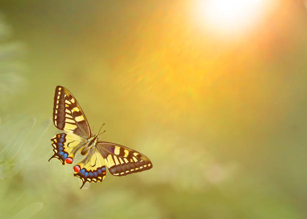 Papilio machaon, the Old World swallowtail stock photo