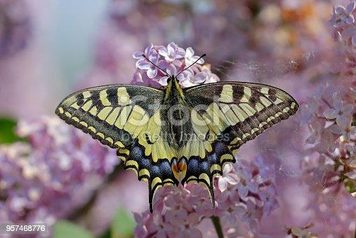 Papilio machaon, the Old World swallowtail, perching on  lilac [genus Syringa]