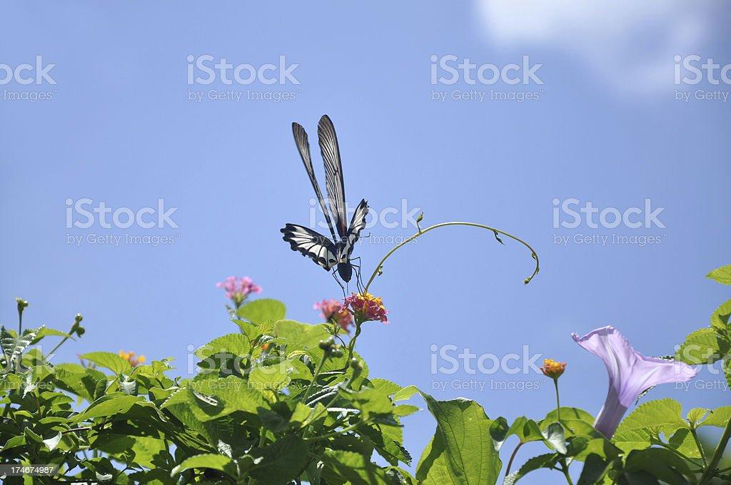 Papilio Memnon / Great Mormon Butterfly stock photo