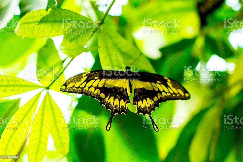 Papilio ophidicephalus, perched on leaf stock photo
