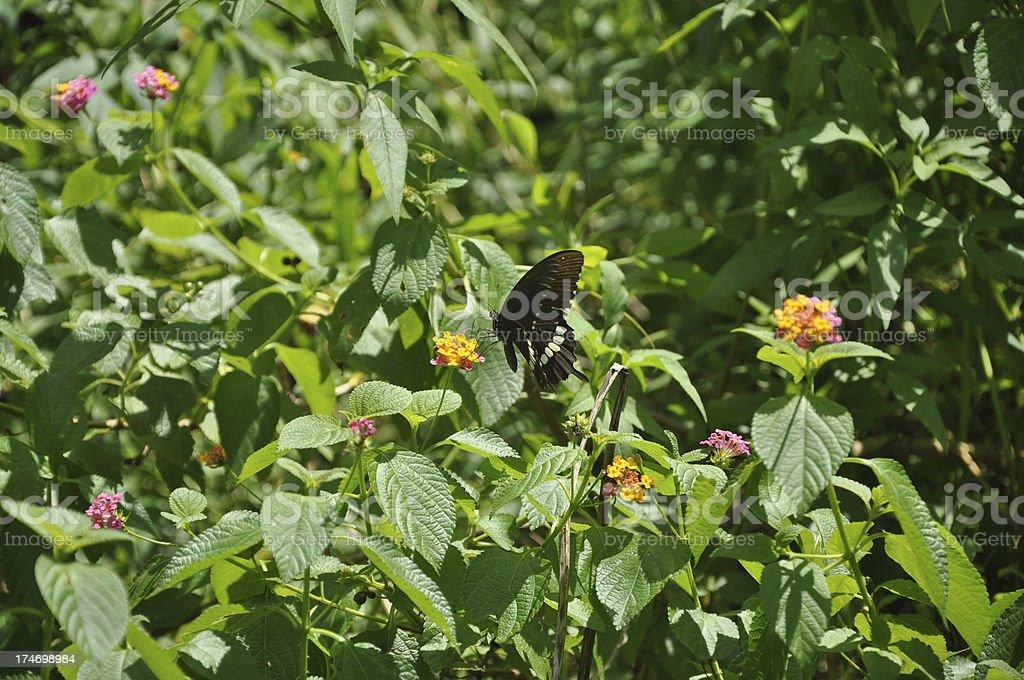 Papilio Polytes / Common Mormon Butterfly stock photo