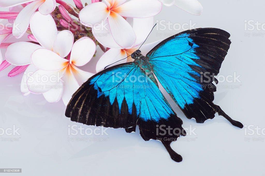 Papilio ulysses butterfly on frangipani stock photo