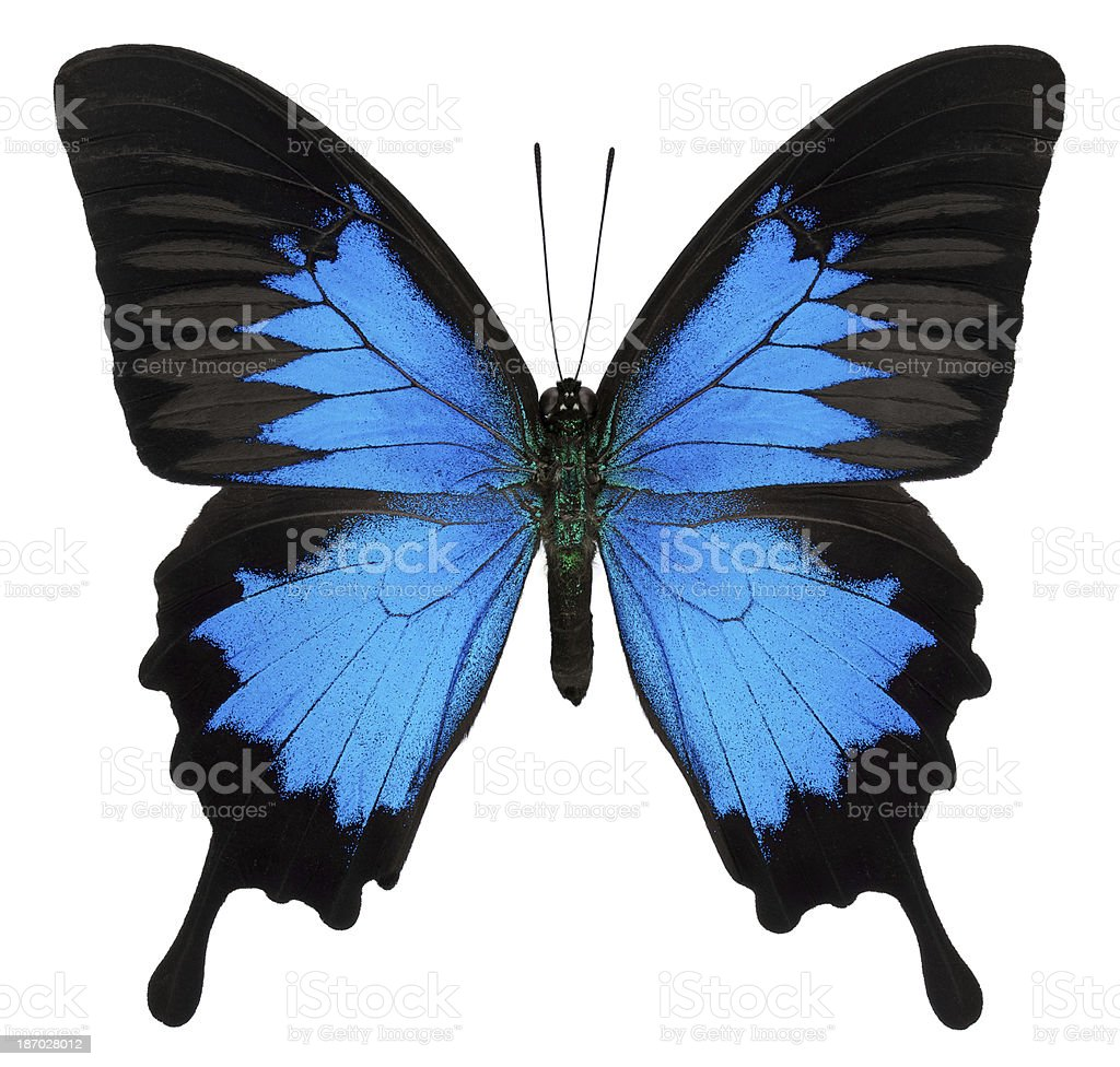 Papilio Ulysses Butterfly royalty-free stock photo