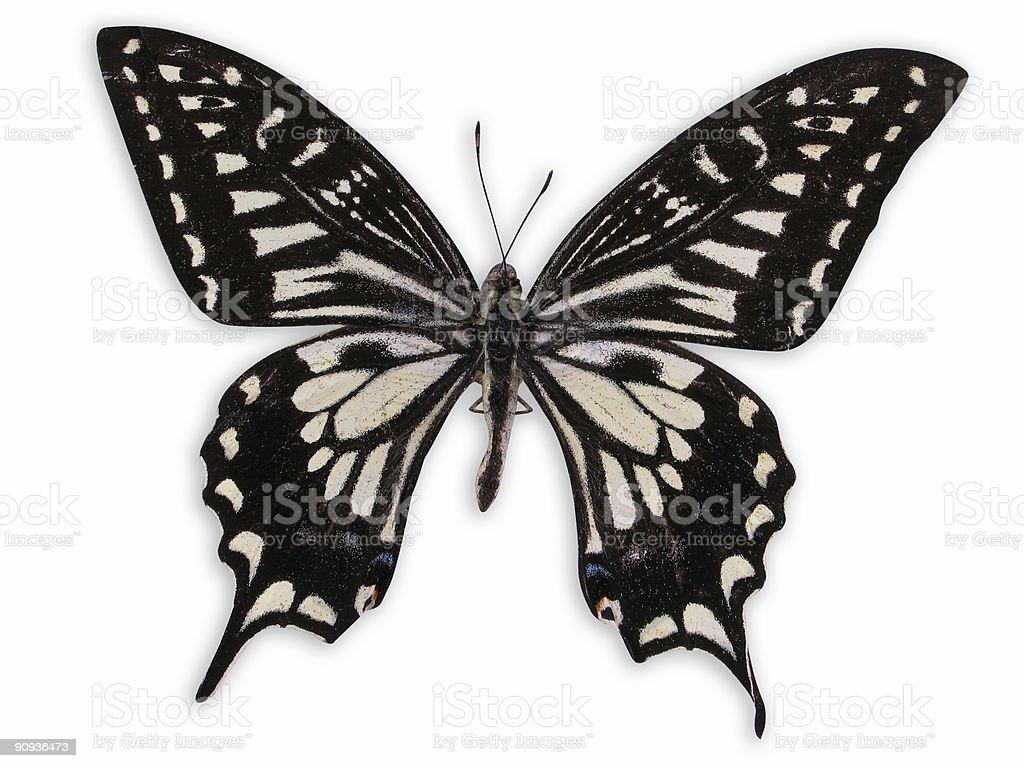 Papilio Xuthus royalty-free stock photo