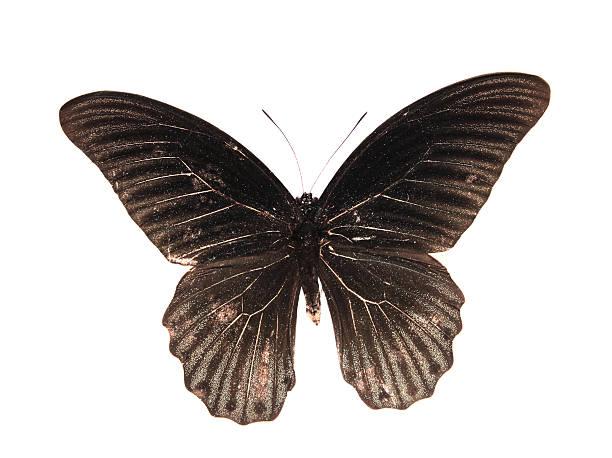 Papilionidaeblack butterfly picture id179220919?b=1&k=6&m=179220919&s=612x612&w=0&h=ftwsiwkpqyeqdltsvx599dq0d4jqk5ew2ryzt5sfr0w=