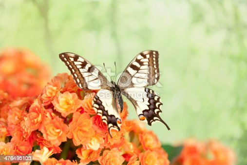 Papillo Machaon Butterfly
