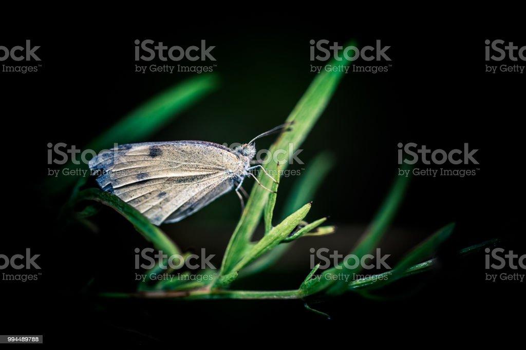 papillon, blanc, posé sur un brin d'herbe le soir en été dans une prairie après l'orage - Photo
