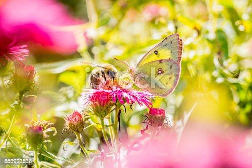 istock Papillon Citron et Aster rose. 853923836