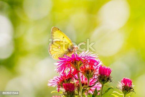 istock Papillon Citron et Aster rose. 853931544